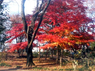 2006_momiji2.jpg