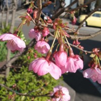 2007_sakura_3_23_2.jpg