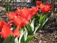 2007_tulip.jpg