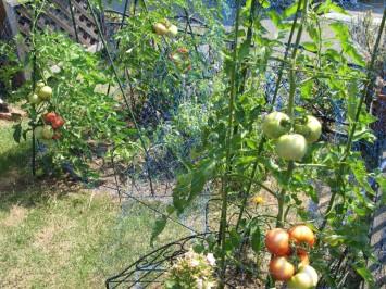 tomato2010_3.jpg