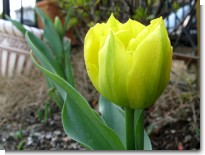 tulip_2009.jpg