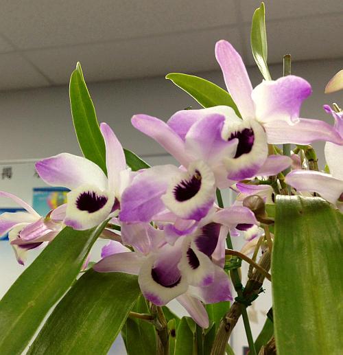 Dendrobium2015.jpg