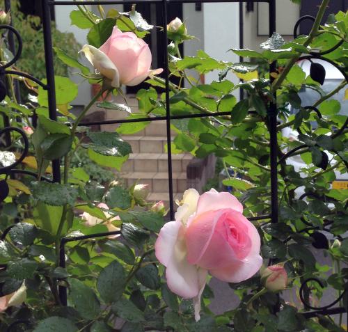 rose2014_1.jpg