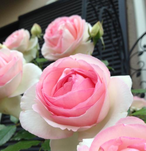 rose2014_4.jpg