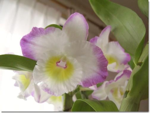 Dendrobium2014_1.jpg