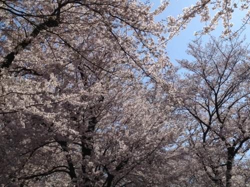 cherry_2012.jpg