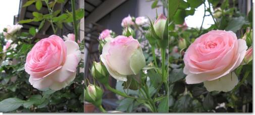 rose2015.jpg