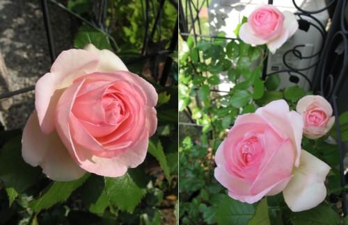 rose_2013_4.jpg