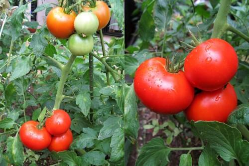 tomato_2013.jpg